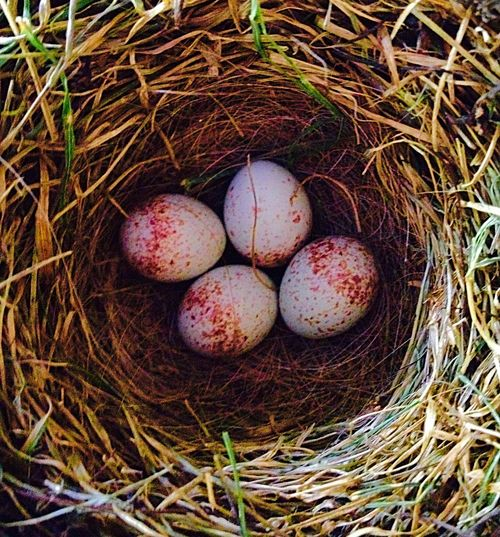 Bird Eggs (Took This Picture While Mother Bird Was Away) Bird Eggs Eggs Nest The Great Outdoors-2016 EyeEm Awards