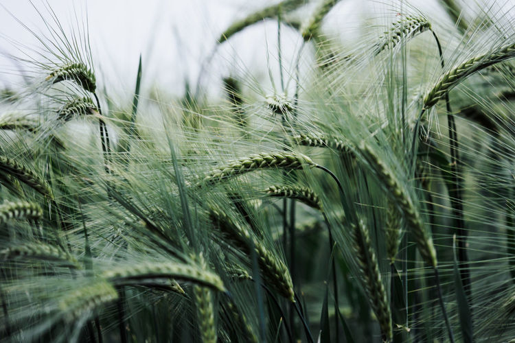 Close-up of wheat plants