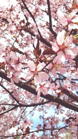 Cherry Blossoms Spring Spring Flowers Finland . Flowers Beautiful