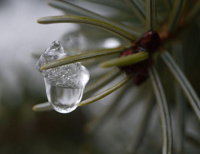 Eistropfen Beauty In Nature Drop Drops Of Ice Eistropfen Gefrorener Zweig Ice Kälte Nature Water Winter