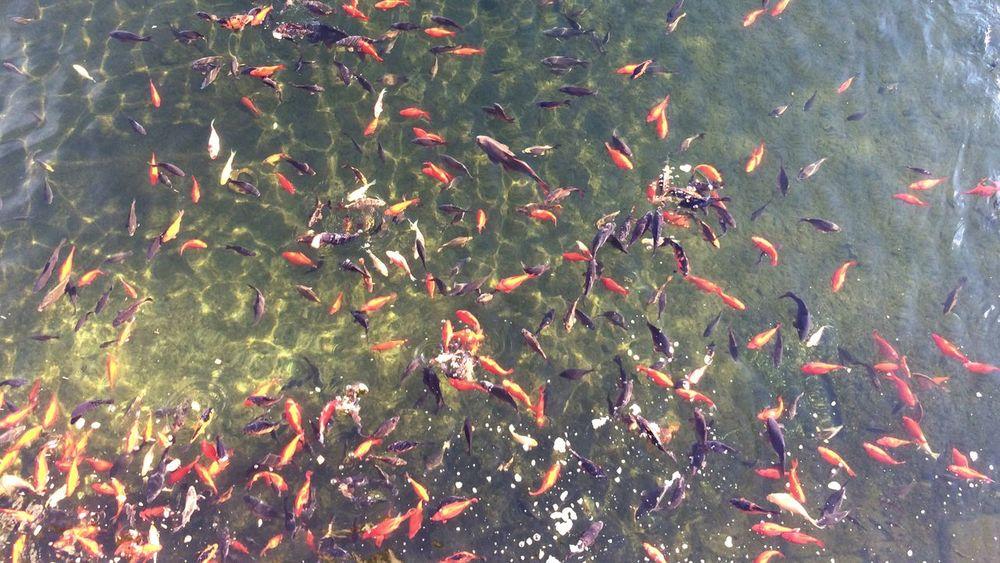 Fish Koi Carp School Of Fish