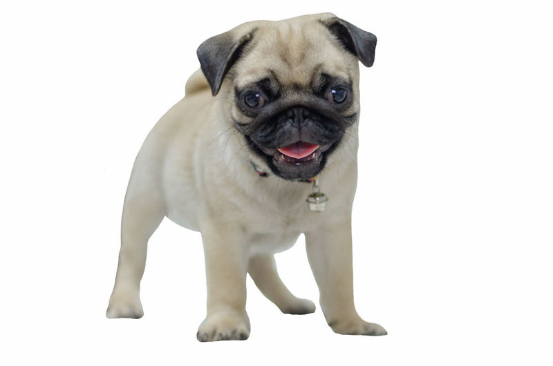 Animal Themes Animal One Animal Canine Dog Mammal Domestic Pets Domestic Animals Pug Vertebrate Lap Dog Portrait Studio Shot No People Small Indoors  Young Animal Looking At Camera Standing Mouth Open Smile Boy Baby Playful