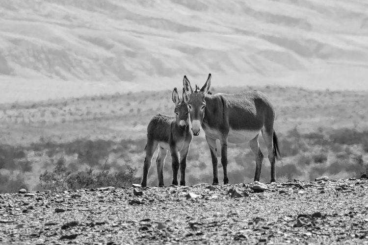 Death Valley National Park EyeEmNewHere Animal Themes Animals In The Wild Beauty In Nature Burros Day Domestic Animals Field Landscape Livestock Mammal Nature No People Outdoors Wild Burros