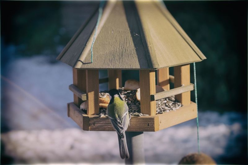 Bluetit in birdhouse