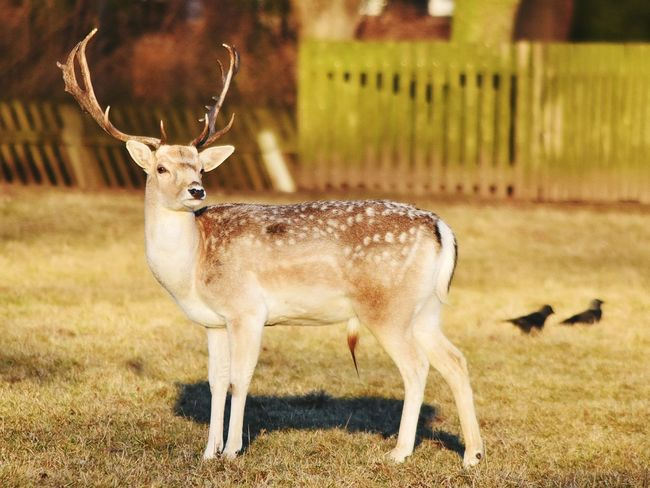 Stag Animal Park Warande Helmond Winter Sunshine Animal Themes Outdoors Adapted To The City