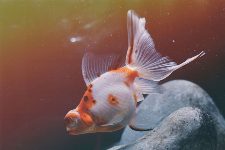 Orange Color Light Cold Water Eye4photography  EyeEm Selects EyeEm Gallery Nature_collection Nature Light And Shadow UnderSea Sea Life Swimming Underwater Animal Fin Water Close-up Fish Tank Goldfish Aquarium Fish