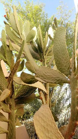Do you see me beautiful too? Pedrographybh Cactusplants Nature Outdoors Beauty In Nature Scorchingsun Underthesun Lifeinthemiddleeast Bahrain Life
