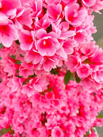 Flower Pink Color Beauty In Nature
