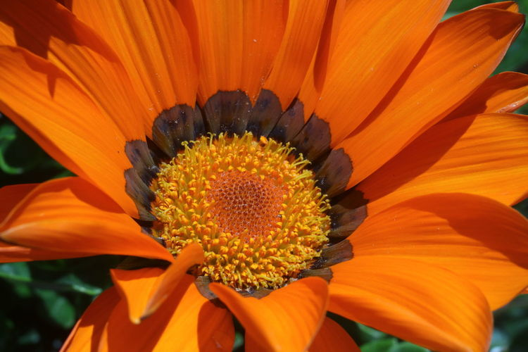 Flowering Plant Flower Flower Head Fragility Inflorescence Petal Freshness Vulnerability  Beauty In Nature Plant Growth Close-up Pollen Orange Color Day Nature Yellow No People Focus On Foreground Gazania Outdoors