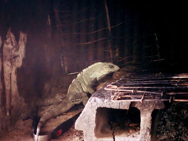 I am hungry Caribbean Life Stove Wanderlust Animal Themes Aroundme  Close-up Contrast Grill Leguan Mahahual No People One Animal Shotzdelight Solotraveler Somewhere In The Nowhere Wildandwonderful Wildanimal