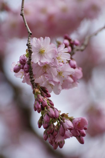 EyeEm Selects Flower Cherry Blossom Blossom Fragility Springtime Almond Tree Branch Nature Botany Beauty In Nature Tree Flower Head Pink Color Petal Growth Close-up Freshness Plant Day Outdoors