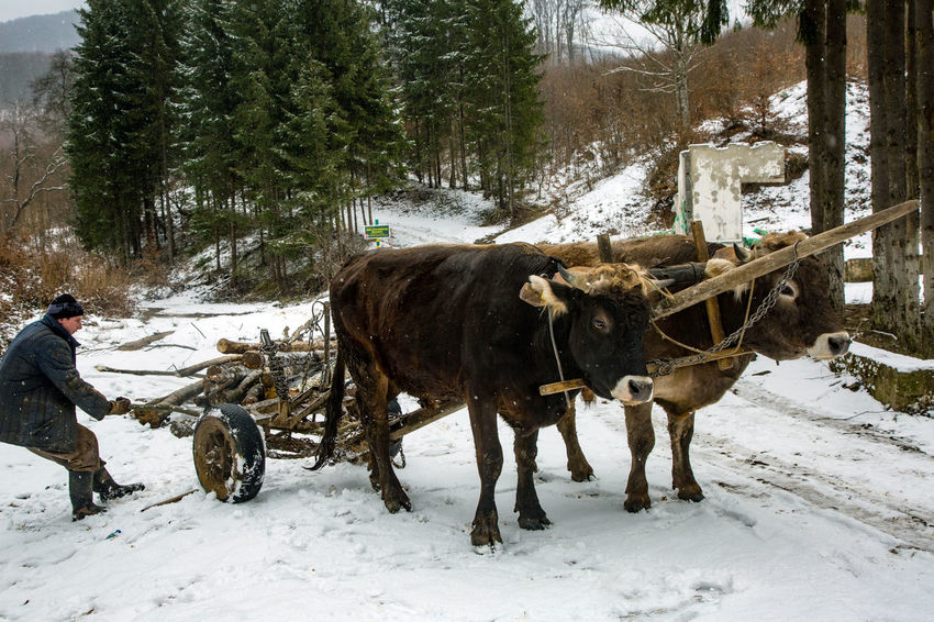 Winter American Bison Animal Themes Cold Temperature Day Domestic Animals Forest Mammal Men Nature No People Outdoors Oxen Snow Snowing Standing Tree Winter Yoke