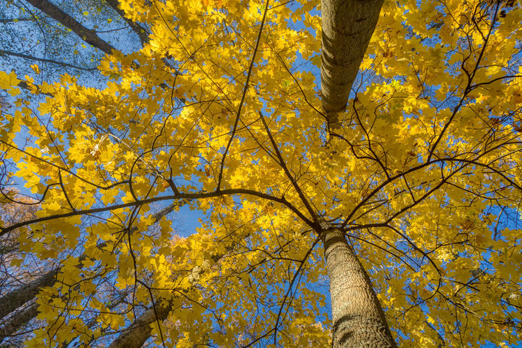 Looking up. https://www.instagram.com/johnmaren/ https://www.photobymaren.com https://plus.google.com/u/0/+JohanMarengard https://www.flickr.com/photos/115763201@N02/ Tree Autumn Plant Low Angle View Yellow Branch Beauty In Nature Leaf Nature Day Growth Full Frame Trunk Backgrounds Tree Trunk Tranquility Tree Canopy  Autumn Collection Fall Natural Condition Colors Of Autumn Autumn Collection Aurora HDR 2019