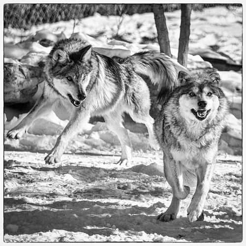 Snarling Wolves On Field