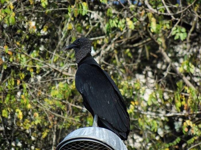 Betosalvestrini Birds Vulture Black Backinblack Bird Nature City Caracas Venezuela Backyard Photo Samsung Camera Wb2100