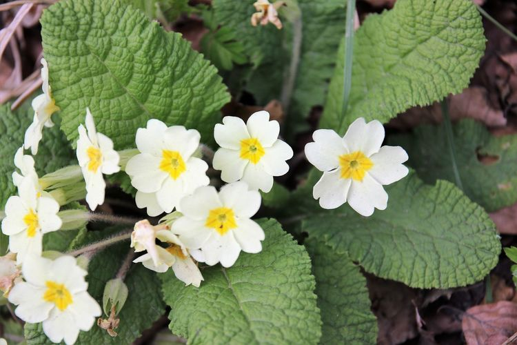 Beauty In Nature Blooming Close-up Day Flower Flower Head Fragility Freshness Green Color Growth Leaf Nature No People Outdoors Petal Plant Primrose