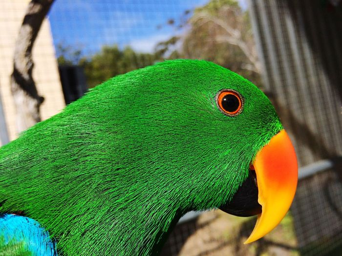Eclectus parrot Bright_and_bold Green Green Green!  Birds Eclectus Male Eclectus Jellybean_the_Eclectus Bright Bold And Beautiful Bold Colours In_the_aviary