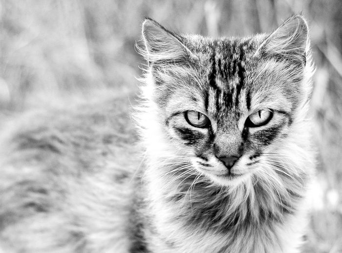 Cat Montblanc Animal Portrait Black & White