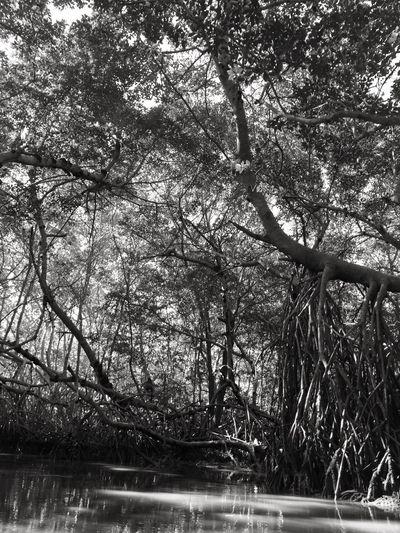 Tree Outdoors Nature Manglares Celestun Mexico Blackandwhite Photography Yucatan Mexico