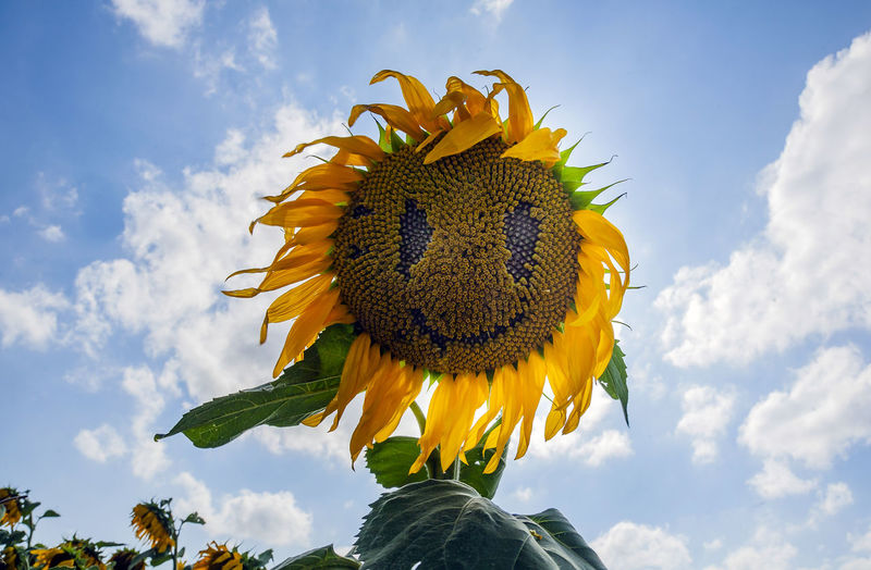 Flower Flowering Plant Yellow Cloud - Sky Plant Flower Head Beauty In Nature Vulnerability  Freshness Fragility Sky Sunflower Inflorescence Petal Growth Nature Low Angle View Close-up Day Pollen No People Outdoors Sepal