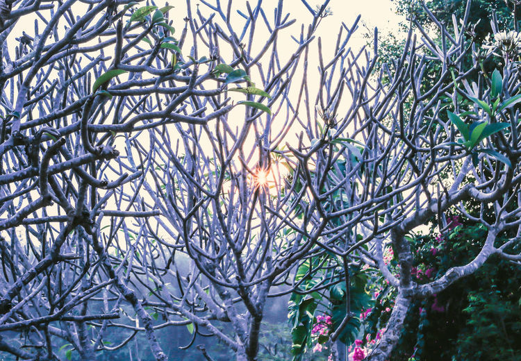 sunrise from laungprabang,Loas Bare Tree Beauty In Nature Close-up Day Flower Flowering Plant Freshness Growth Nature Outdoors Plant Sun Sunbeam Sunlight Tranquility Tree