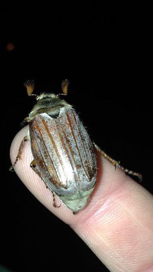British maybug Nature Bug Brown Maybug  #U.K. Wales