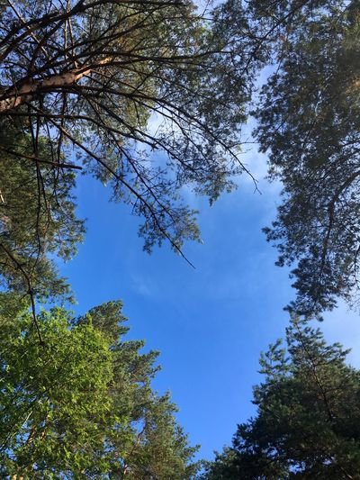 Taken on he island Sydkoster in August 2018. Tree Plant Sky Low Angle View Growth Beauty In Nature Tranquility Branch No People Nature Day Blue Tranquil Scene Green Color Outdoors Clear Sky Scenics - Nature Forest Idyllic Tree Canopy  Directly Below Coniferous Tree Sydkoster