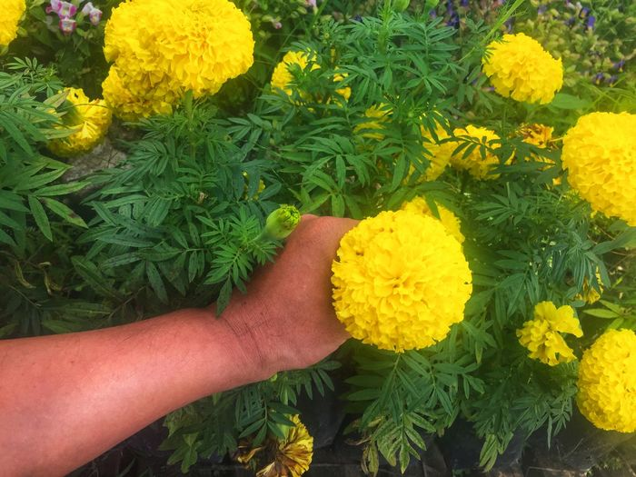 Cropped image of person hand on yellow flowering plants