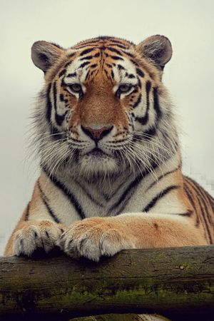 Safari Leica Headshot Stare Animalportrait Leicacamera Bigcat Ashford Kent Showcase July Wildlifeheritagefund Leicavluxtyp114 Kojikam Photographersonsafari Stripes Tiger