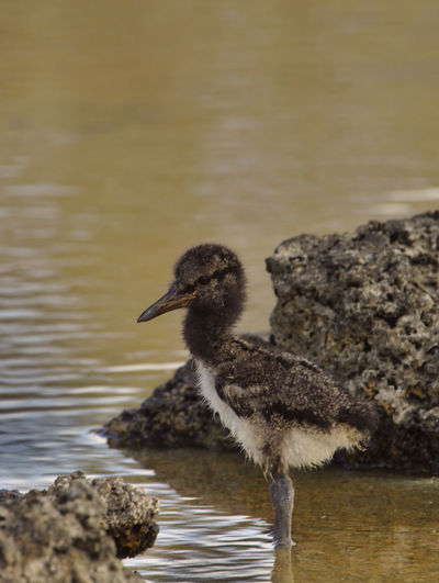 J'ai eu la chance, lors de mon séjour aux Galapagos, de voir grandir un jeune Huitrier d'Amérique, pendant les trois premières semaines de sa vie. En voici quelques photos. Age: 10 jours. While staying in Galapagos, I got to see a young American Oystercatcher grow during its first three weeks. Here are some pictures. 10 days old. Animals In The Wild Baby EyeEm Nature Lover Galapagos Growing Nature Nature Photography Wildlife & Nature Wildlife Photography Animal Themes Animal Wildlife Beauty In Nature Bird Birth Blackandwhite Cute Haematopus Palliatus Nature_collection Oystercatcher Sand Sea Seaside Series Water Wildlife The Traveler - 2018 EyeEm Awards