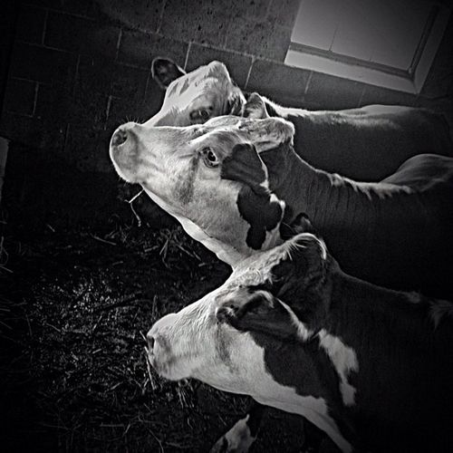 """""""Pick me, please."""" #heifer #cows #farm #animals #bw #blackandwhite #dramaticB&W #lancastercounty #choice #mobilephotography #igersphilly #iphoneonly #iphonesia #instagood #canvaspop #instamood #instadaily #webstagram #picoftheday #photooftheday #iga Instagood Statigram Blackandwhite Instagramhub Animals Webstagram Cows Instadaily Choice Dramaticb Farm Jj_forum Bw Igaddict Iphoneonly Canvaspop Photooftheday Igersphilly Iphonesia Lancastercounty Picoftheday Mnolt Mobilephotography Heifer Instamood Igers Jj"""