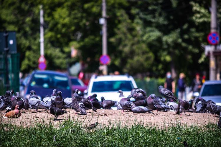 Flock of pigeons on plants