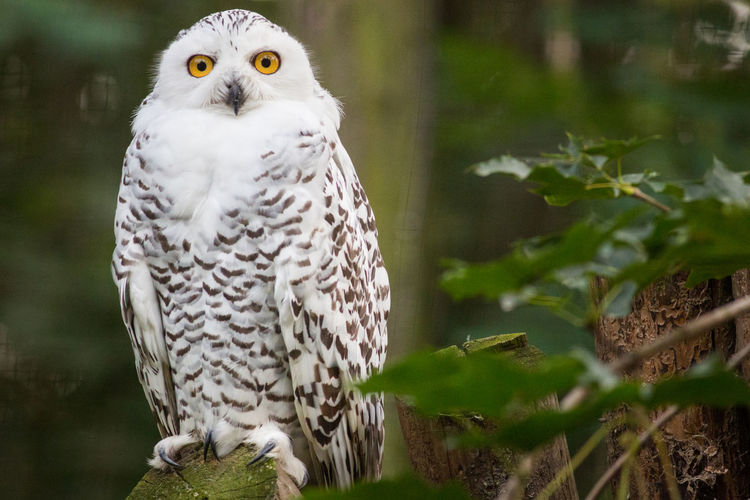 Copy Space Sitting Zoo Animal Animal Themes Animal Wildlife Bird Bird Of Prey Bubo Scandiacus Copyspace Looking At Camera Nature No People One One Animal Outdoors Owl Owls Perching Snowy Owl Snowyowl White White Bird Yellow Eyes Zoo Animals