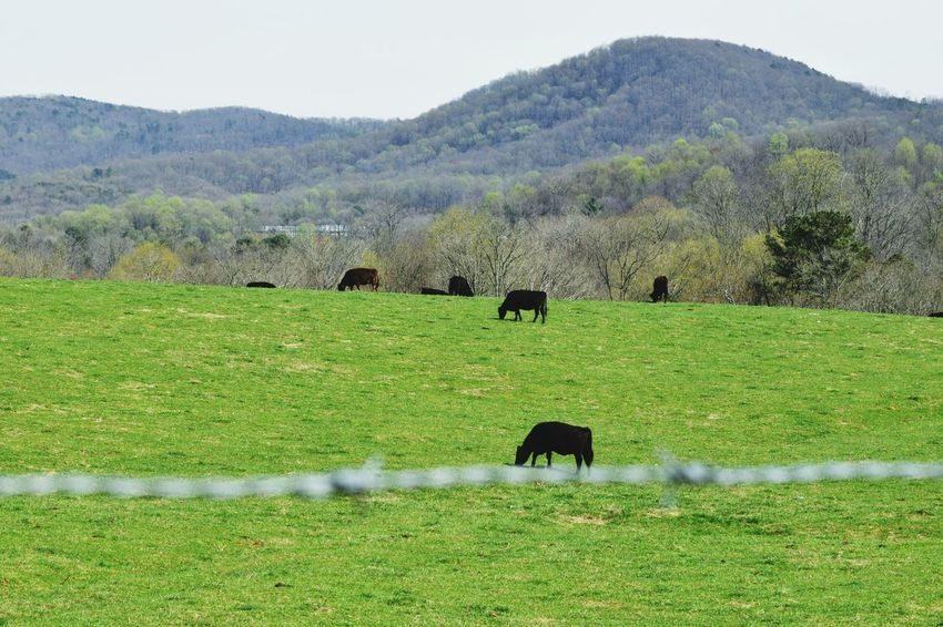 Landscapes With WhiteWall North Georgia Mountains Grass Cattle Nikonphotography EyeEm Best Shots - Nature Wandernorthga EyeEm Gallery Pasture Theellijays Human Vs Nature Here Belongs To Me Countryside