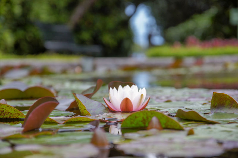 A water lily floating in a pond. Pond Beauty In Nature Close-up Floating On Water Flower Flower Head Fragility Freshness Garden Lotus Water Lily Nature No People Outdoors Petal Plant Selective Focus Vulnerability  Water Water Lillies Water Lily