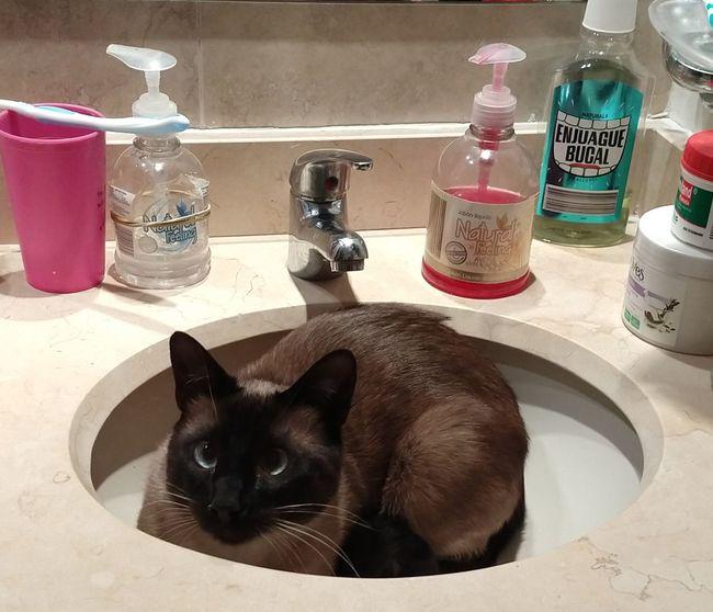 Dalí Cat. Pets Feline Cat