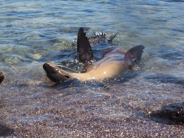 Sea lion on its back in the Galapagos Islands Animal Themes Animal Wildlife Animals In The Wild Aquatic Mammal Galapagos Islands Mammal Nature No People Outdoors Sea Sea Life Sea Lions Water