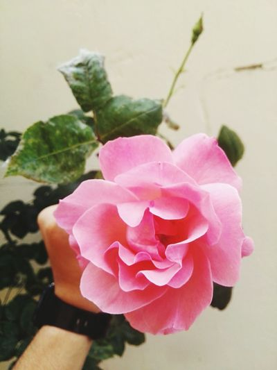 Flower Pink Color Rose - Flower Plant Petal Peony  Flower Head Nature Human Body Part Fragility Day One Person Beauty In Nature Outdoors Close-up Human Hand People Freshness