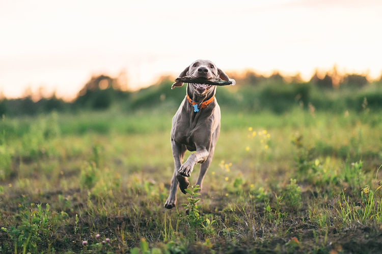 Dog running on field during sunset