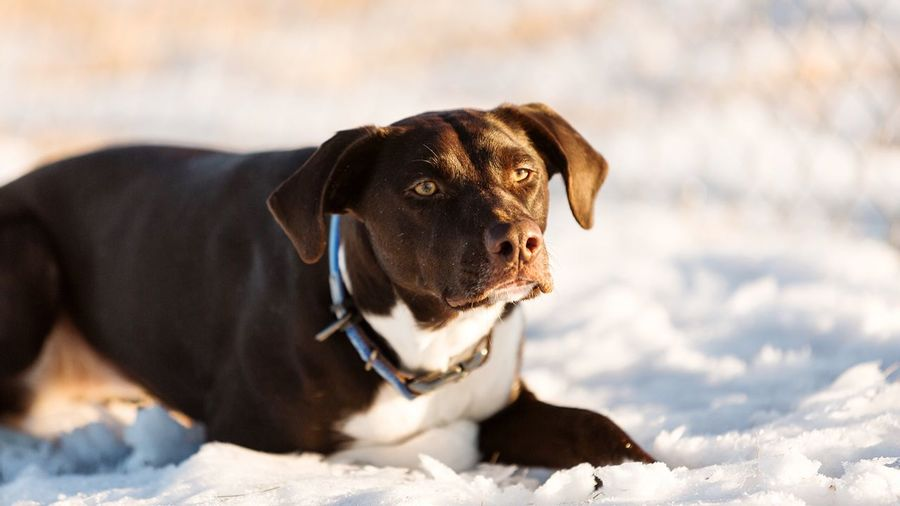 Brown dog relaxing on snow covered field