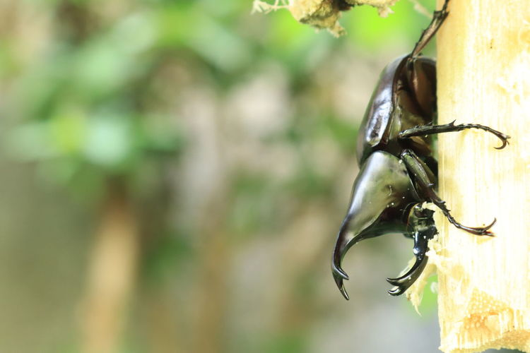 Siamese rhinoceros beetle Siamese Rhinoceros Beetle Animal Themes Animal Animal Wildlife Animals In The Wild Focus On Foreground One Animal Invertebrate Close-up Insect Day No People Nature Outdoors Vertebrate Animal Body Part Hanging Metal Zoology Sunlight Bird Feeder