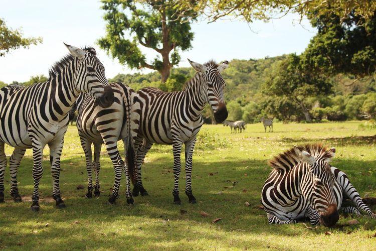 Zebras on field