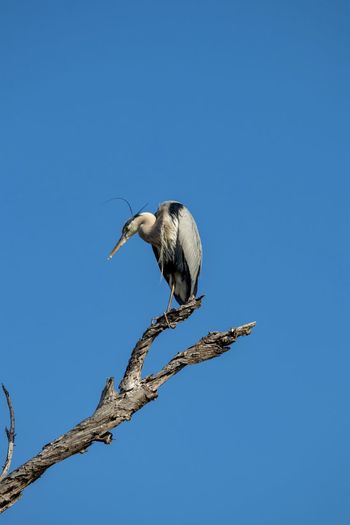 great blue heron perched on a branch against blue sky Animal Wildlife Animals In The Wild Animal Themes Animal One Animal Vertebrate Bird Sky Clear Sky Perching Branch Tree Low Angle View Copy Space Blue No People Nature Plant Day Heron Outdoors Profile View Great Blue Heron