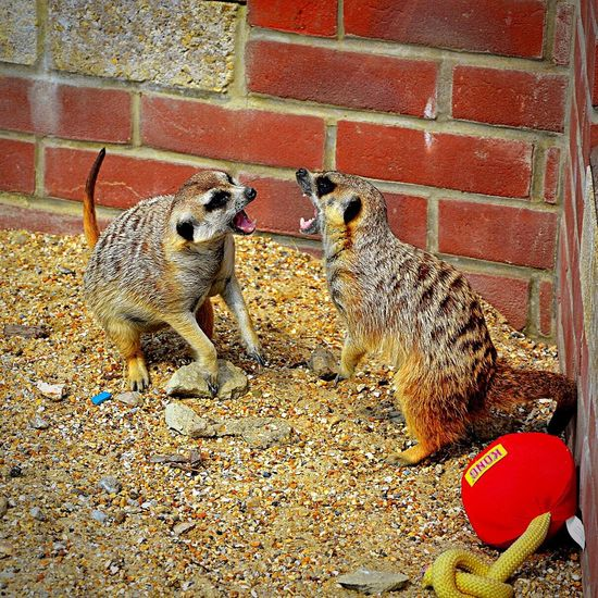 Owl & Monkey Haven Isle Of Wight  Newport Meerkat Animal Animal Photography Animal Protection Haven Outdoors Playing Fighting