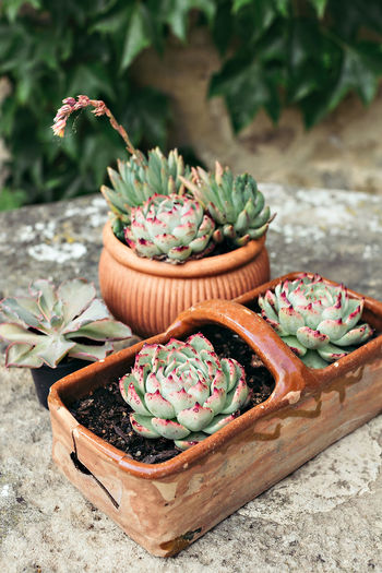 Close-up Day Flower Food Freshness Growth High Angle View Nature No People Outdoors Plant Potted Plant Succulent