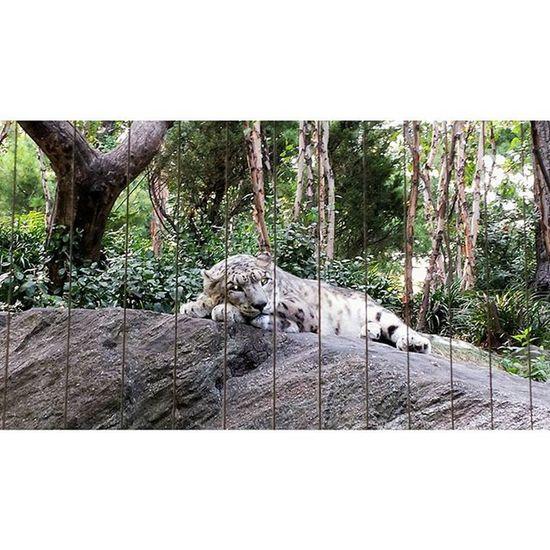 Sleepybaby Snowleopard Centralparkzoo CentralPark NYC creepyeyes