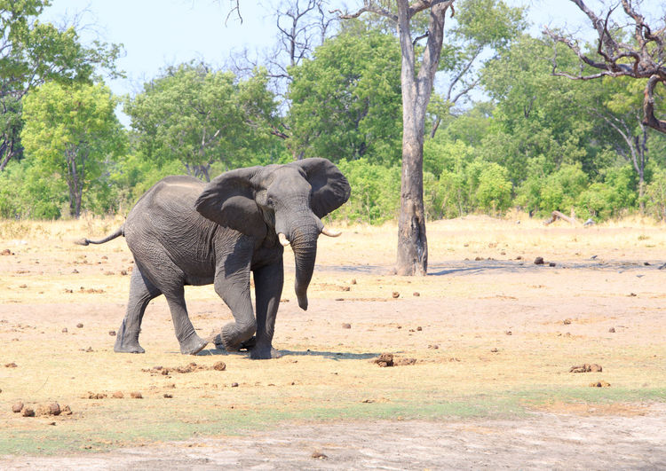 Elephant Animal Themes Animal Mammal Animals In The Wild Animal Wildlife Nature Day African Elephant Animal Trunk No People Outdoors Hwange National Park Africa Wildlife & Nature Wildlife Photography Animals In The Wild