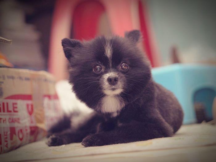 Pomeranian Indoors  Domestic Dog Cute Dog  Pet Portraits