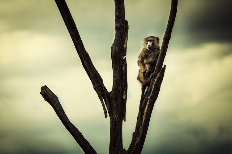 Lookout Ape EyeEm Best Shots EyeEm Gallery Lookout Monkeys Outlook Tree Watch Out Animal Animal Photography Animal Themes Animal Wildlife Animals Animals In The Wild Branch First Eyeem Photo Mammal Monkey Nature Outdoors Perching Primate Prospect Sky Watching EyeEmNewHere