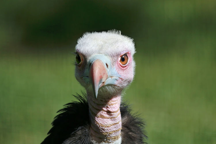 Young Vulture Animals In The Wild Avian Beak Beauty In Nature Bird Close-up Focus On Foreground Green Color Nature One Animal Outdoors Wildlife Zoology